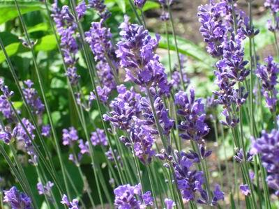 Voedwel, natuurlijk voedingsadvies, lavendel