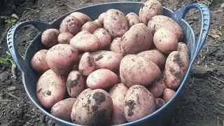 Voedwel, natuurlijk voedingsadvies, aardappels