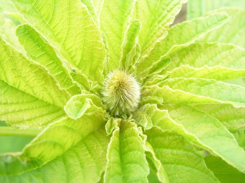 Wintersesoep met amarant