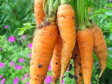 Voedwel, natuurlijk voedingsadvies, wortels